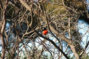 IMG_3722 Robin